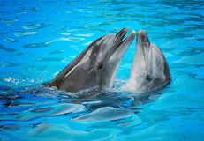 Dolphins. Pair of dolphins dancing in light-blue water Royalty Free Stock Images