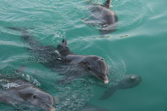 Dolphins. Watching beautiful dolphins swirling in the ocean in the Bahamas Stock Images
