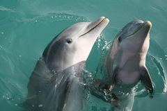 Dolphins. Watching beautiful smiling dolphins flirting with me in the ocean in the Bahamas Stock Images