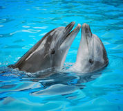 Dolphins. Pair of dolphins dancing in light-blue water Royalty Free Stock Image