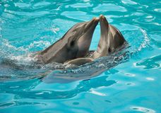 Dolphins. Two playful dolphins swimming together Stock Photos