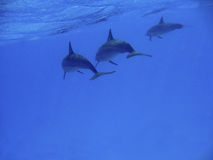Dolphins. Picture of three dolphins, swimming near the surface Stock Photos