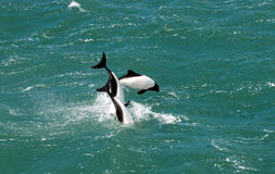 Dolphins. 3 Commerson's Dolphins jumping out of the sea Royalty Free Stock Images