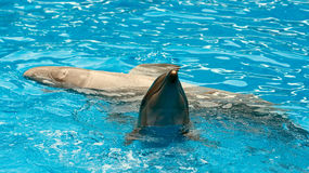 Dolphins. A couple of dolfins in pool Royalty Free Stock Photo