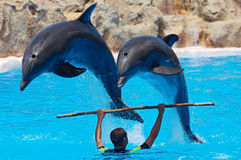 Dolphins. Photo of dolphins doing a show in the swimmingpool Stock Photography
