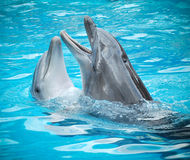 Dolphins. Pair of dolphins dancing in light-blue water Stock Images