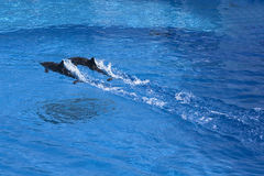Dolphins. Two dolphins swimming togehter through the water Stock Photography
