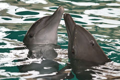 The Dolphins Royalty Free Stock Image