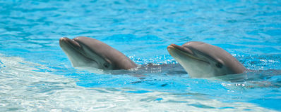 Dolphins. Two dolphins in a dolphinarium playing and jumping out of water Royalty Free Stock Photos