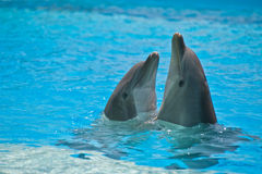 Dolphins. Two dolphins in a dolphinarium playing and jumping out of water Stock Photography