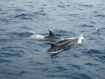 Dolphins. Two dolphins swimming in the sea Royalty Free Stock Photography
