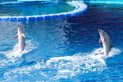Dolphins. Two bottlenose dolphins playing in the water Royalty Free Stock Photos