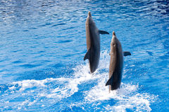 Dolphins. Two bottlenose dolphins playing in the water Stock Photos