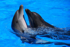 Dolphins. Two dolphins in the water Royalty Free Stock Images