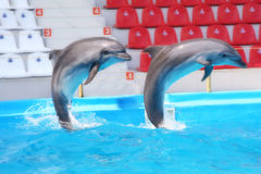 Dolphins. Two pretty dolphins in dolphinarium Royalty Free Stock Photography