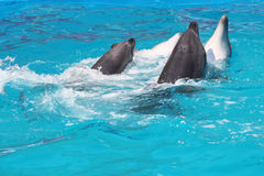 Dolphins. About dolphins who are dansing Royalty Free Stock Photography