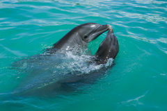 Dolphins. Two dolphins which is in love playing around in the ocean Royalty Free Stock Photos