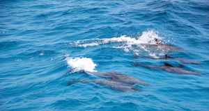 Dolphins. Dolphins near the island Giftun, Red Sea, Egypt Royalty Free Stock Photos