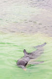 Dolphins. Gray dolphin swimming in Caribbean sea. Cuba Stock Photos