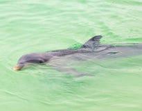 Dolphins. Gray dolphin swimming in Caribbean sea. Cuba Royalty Free Stock Photo