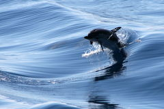 Dolphins. Dolphin playing in the waves Royalty Free Stock Image