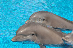 Dolphins. Two dolphins glide through the water with their heads above the surface. A third baby dolphin is with them