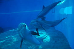 Dolphins. Three dolphins in Las Vegas Stock Images