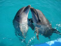 Dolphins. Playing in the water Stock Image
