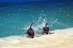 Dolphins. Captured at Florida Royalty Free Stock Photo