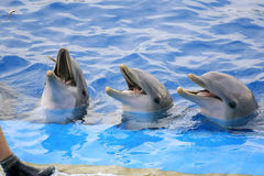 Dolphins. Swimming on blue water at Zoo Park Royalty Free Stock Photography