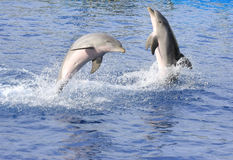 Dolphins. Swimming on blue water at Zoo Park Stock Photos