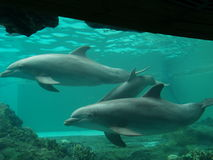 Dolphins. These dolphins were swimming in a large aquarium in Florida Royalty Free Stock Photos