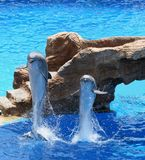 Dolphins. Leaping royalty free stock photo