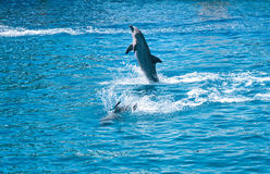 Dolphins in aquarium Royalty Free Stock Images