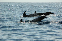 Dolphins in the Azores Royalty Free Stock Photo