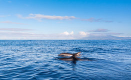 Dolphins Azores royalty free stock images