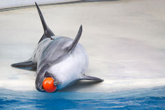 Dolphins with balls. Dolphins are playing with balls Stock Photography