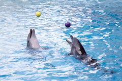 Dolphins with balls. Dolphins are playing with balls Royalty Free Stock Photography
