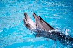 Dolphins with balls Royalty Free Stock Photography