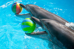 Dolphins with balls. Two bottlenose dolphins playing with the balls Stock Photos