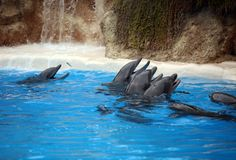 Dolphins in blue water Royalty Free Stock Photo