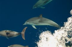 Dolphins bow riding Stock Images