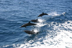 Dolphins breaching sea. Aerial view of Dolphins breaching waves in sea stock image