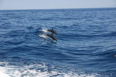 Dolphins breaching sea. Scenic view of two dolphins breaching surface of sea royalty free stock photo
