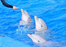 Dolphins in bright blue water. Stock Image