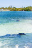 Dolphins in the caribbean sea. Cayo largo Royalty Free Stock Images