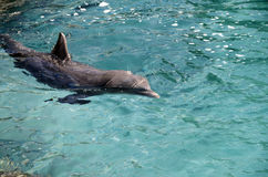 Dolphins in Caribbean Sea water Stock Photos