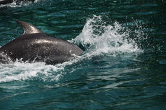 Dolphins in Caribbean Sea water Stock Images