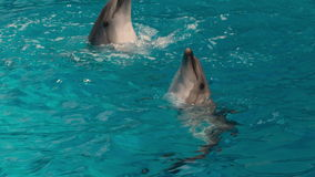 Dolphins Circling in the Water. Trained dolphins jumping in the pool stock footage