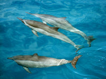 Dolphins in clear water of Na Pali coast Royalty Free Stock Photography